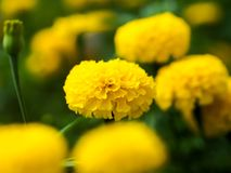 Marigold In remembrance of king Rama 9 of Thailand.King Bhumibo Stock Image