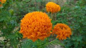 Flower marigold Royalty Free Stock Image