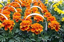 Marigold seedlings Royalty Free Stock Image