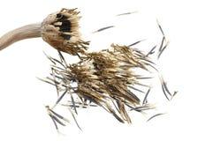 Marigold seeds Stock Photos