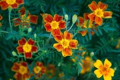 Marigold Signet λουλούδι στοκ εικόνα με δικαίωμα ελεύθερης χρήσης
