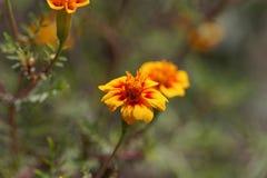 Marigold Signet tenuifolia Tagetes στοκ φωτογραφία με δικαίωμα ελεύθερης χρήσης