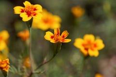 Marigold Signet tenuifolia Tagetes στοκ εικόνα