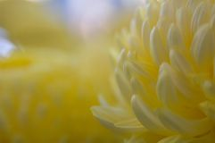 Marigold in soft light. The delicate pastel yellows of a marigold in soft light stock photography