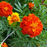 Marigold in the sun. Brightly colored marigold in the sun Stock Photos
