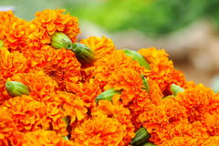 Marigold or Tagetes. Beautiful portrait of Marigold or Tagetes  is a genus of  herbaceous plants in the sunflower family.  Blooms naturally occur in golden Stock Photography
