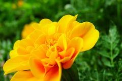 Marigold or Tagetes Royalty Free Stock Photo