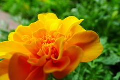 Marigold or Tagetes. Beautiful portrait of Marigold or Tagetes is a genus of herbaceous plants in the sunflower family. Blooms naturally occur in golden, orange Royalty Free Stock Photo