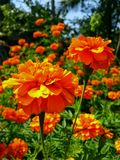 Mexican Marigold, Tagetes erecta stock photos