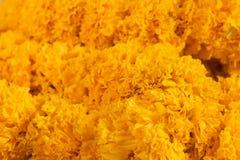 Marigold or Tagetes erecta L stock image