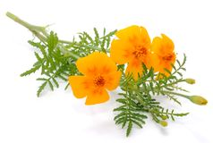 Marigold (Tagetes) Flowers Stock Photography