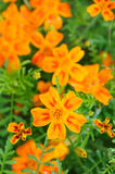 Marigold (Tagetes) Flowers Stock Images