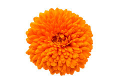 Marigold. (Tagetes) an a white background royalty free stock photography