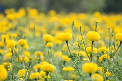 Marigold field garden. Stock Images