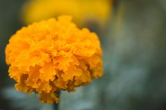 Marigold from Thailand. Beautiful flower in Chatuchak park, Thailand Royalty Free Stock Image