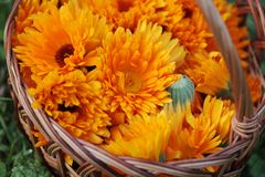 Marigold. Top view of basket with marigold (calendula) flowers stock photos