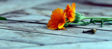 Marigold. Two orange marigold flowers togther on a wooden table Stock Image