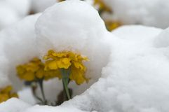 Marigold under the snow 1. Marigold flowers covered with first snow Royalty Free Stock Photography