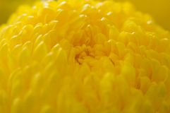 Marigold up close Stock Image