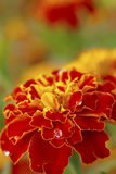 Marigold with water drops stock photo