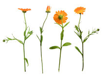 Marigold on the white background Stock Images