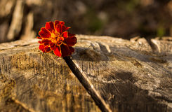 Marigold Wood Stock Image