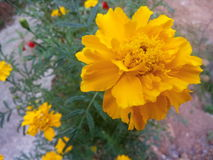 Marigold. Yellow marigold flower stock photos