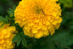 Marigold is yellow flower. Marigold is a beautiful yellow flower in nature royalty free stock image