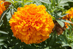 Marigold yellow flower blooming beautiful in garden. Tagetes erecta, Mexican marigold, Aztec marigold, African marigold.  Royalty Free Stock Photos