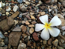 Marigold Yellow Flower Royalty Free Stock Photos