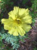 Marigold in yellow. Marigolds come in a variety of colors royalty free stock photos