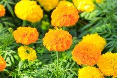 Marigold yellow-orange flower blooming beautiful in garden   (Ta. Getes erecta, Mexican marigold, Aztec marigold, African marigold Stock Photo
