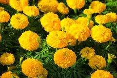 Marigold yellow-orange flower blooming beautiful in garden   (Ta. Getes erecta, Mexican marigold, Aztec marigold, African marigold Royalty Free Stock Image