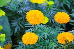 Marigold yellow-orange flower blooming beautiful in garden   (Ta. Getes erecta, Mexican marigold, Aztec marigold, African marigold Royalty Free Stock Photography