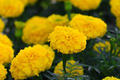 Marigold yellow-orange flower blooming beautiful in garden Tagetes erecta, Mexican marigold, Aztec marigold, African marigold. Marigold yellow-orange flower Stock Photo