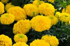 Marigold yellow-orange flower blooming beautiful in garden Tagetes erecta, Mexican marigold, Aztec marigold, African marigold. Marigold yellow-orange flower Stock Image