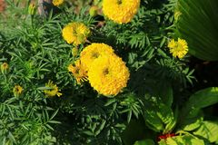 Marigold yellow-orange flower blooming beautiful in garden Tagetes erecta, Mexican marigold, Aztec marigold, African marigold. Marigold yellow-orange flower Stock Photos