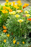 Marigold yellow and orange flowers garden center Royalty Free Stock Photography