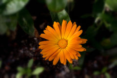 Marigolds. Ðœarigolds photographed in their natural environment on a summer sunny day royalty free stock photos