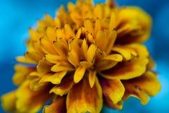 Marigolds άνθισαν στον κήπο Στοκ Φωτογραφία