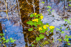 Marigolds έλους στο νερό Στοκ Φωτογραφίες