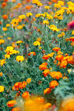 Marigolds βασίλισσας σαφάρι Tagetes λουλούδια όμορφο καλοκαίρι κήπων Στοκ φωτογραφία με δικαίωμα ελεύθερης χρήσης