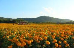 Marigolds κήπος Στοκ Εικόνα