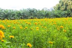 Marigolds κίτρινα λιβάδια άνθισης στοκ εικόνα με δικαίωμα ελεύθερης χρήσης