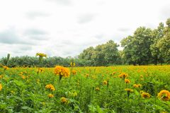 Marigolds κίτρινα λιβάδια άνθισης στοκ φωτογραφία