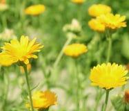 marigolds λουλουδιών calendula Στοκ Εικόνα