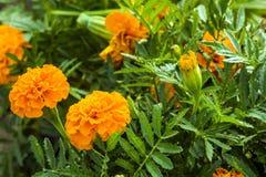 Marigolds λουλούδια πράσινα φύλλα Εορτασμός Στοκ φωτογραφίες με δικαίωμα ελεύθερης χρήσης