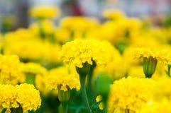 Marigolds λουλούδια στον κήπο Στοκ Εικόνα