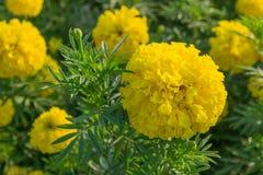 Marigolds λουλούδια Στοκ φωτογραφίες με δικαίωμα ελεύθερης χρήσης