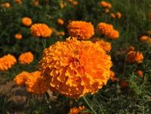 Marigolds λουλούδι στοκ φωτογραφία